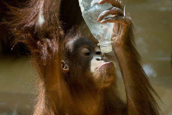 Orangutan and Palm Oil: What You Need to Know