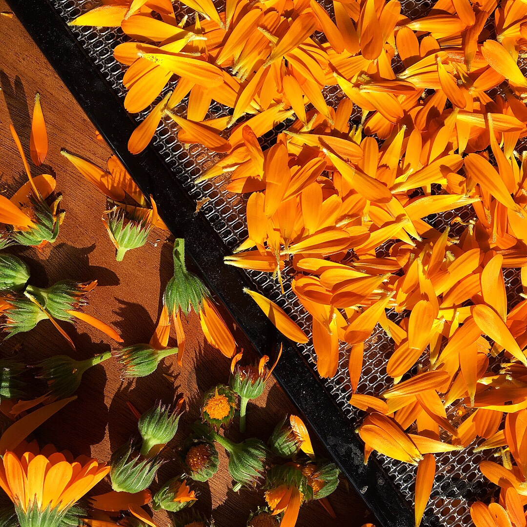 Fresh Calendula Flowers Ready for the Dehydrator