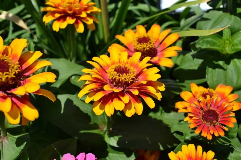 orange and yellow zinnias