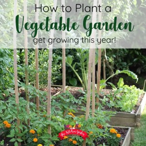 vegetable garden with tomatoes and marigolds