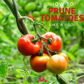 How to Prune Tomato Plants like a Pro