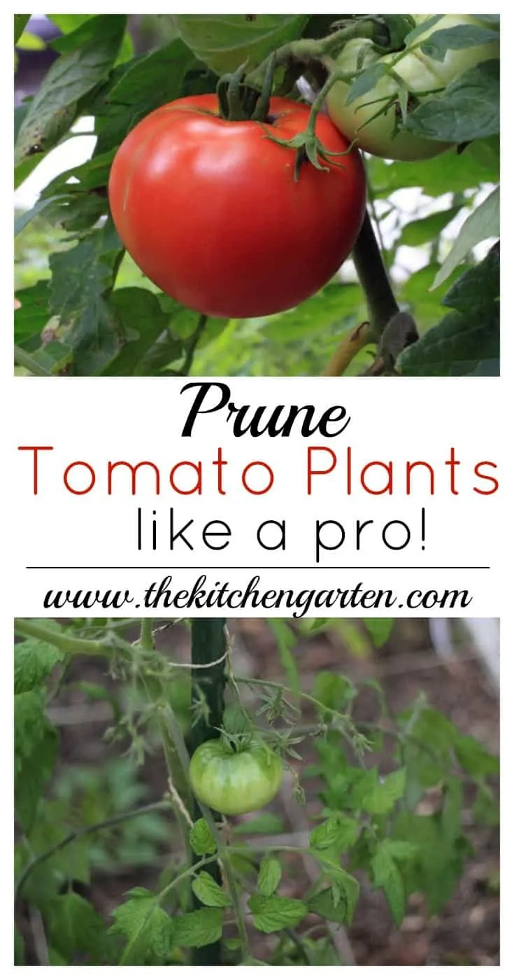 Get the most out of your tomato plants this season with proper pruning. Help your tomato plant focus on growing large, juicy tomatoes!