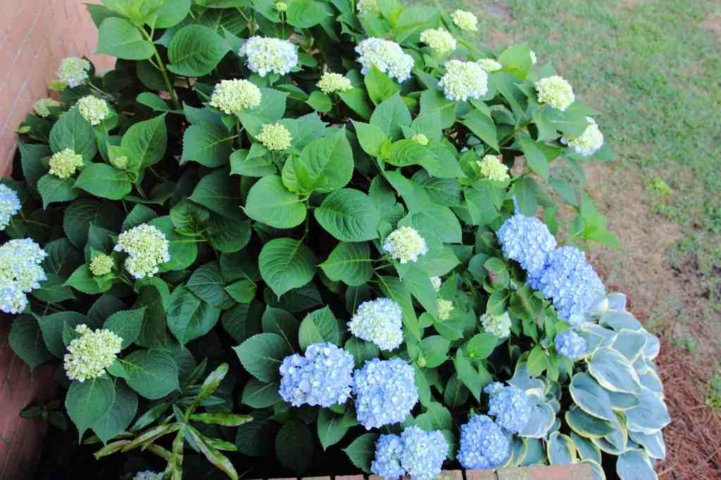 how to prune hydrangeas