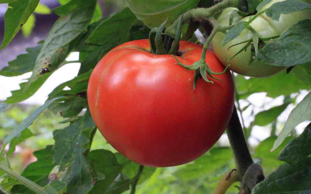 Pruning Tomatoes Like a Pro