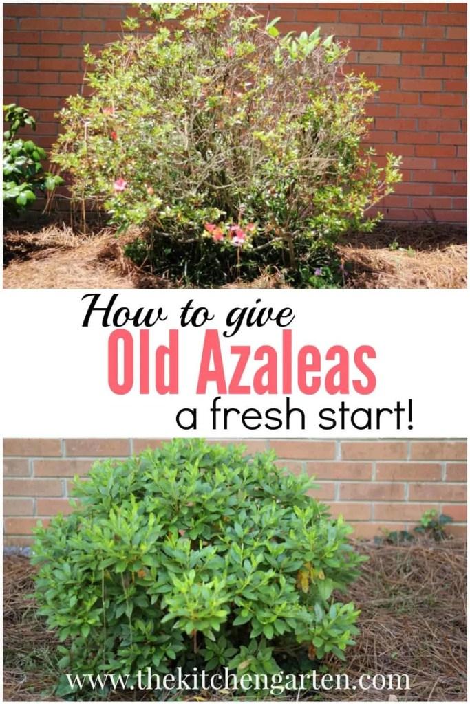 old azalea pin