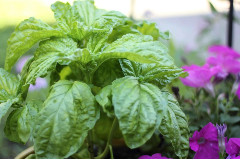 basil plant with petunias on the side
