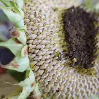Harvesting Sunflower Seeds