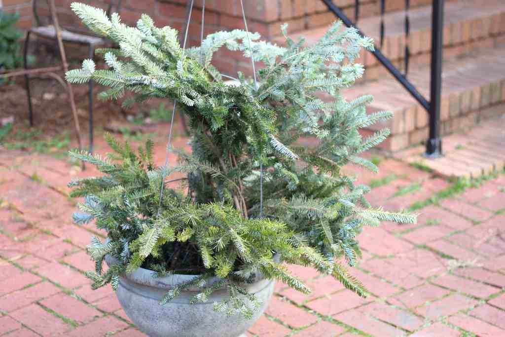 christmas tree limbs resting on an upside down tomato cage in a planter