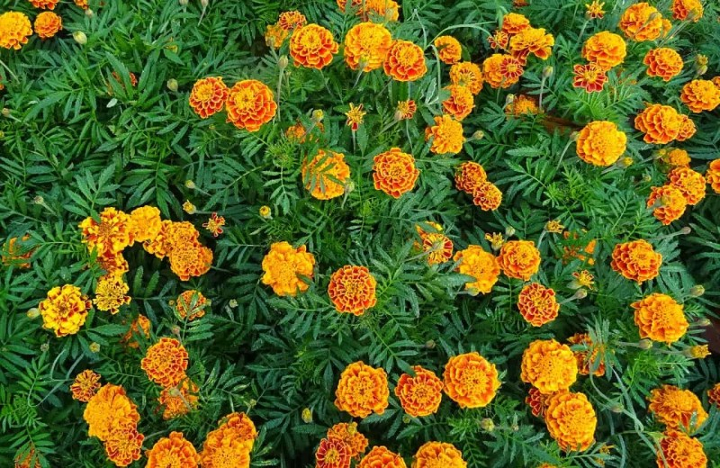 marigold flowers in the garden