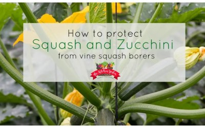 Protect Squash and Zucchini from Vine Squash Borer