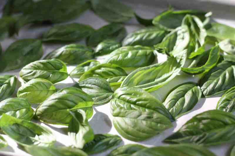 how to dry fresh basil