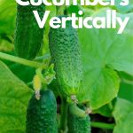 cucumbers growing vertically
