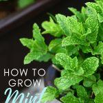 mint growing in black pot