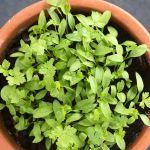 pot of seedlings