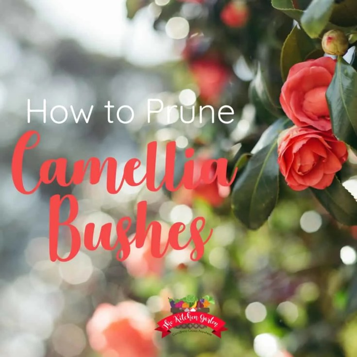 How to Prune Camellia Bushes