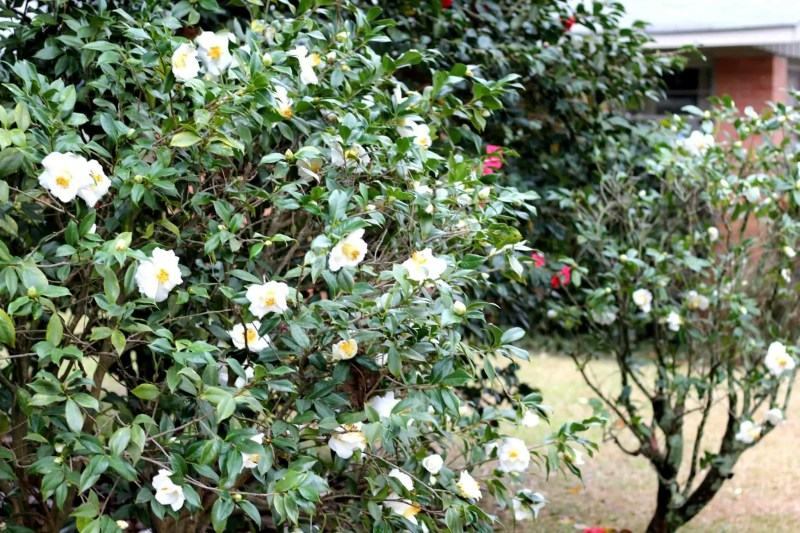 how to prune camellias