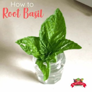 How to Root Basil from Cuttings