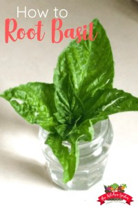 how to root basil