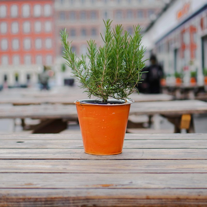 tips for growing rosemary