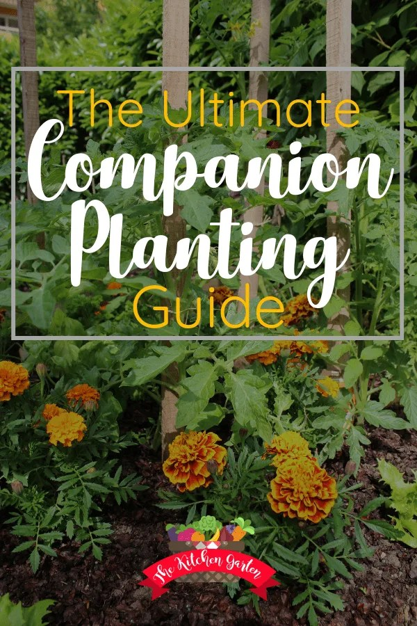 companion plants of tomatoes and marigolds in the garden