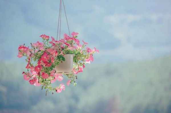 hanging basket of pink petunias