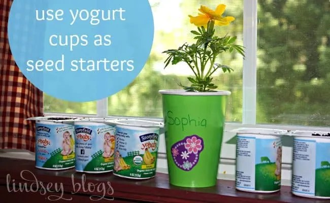 yogurt cups as seed starters sitting on a windowsill