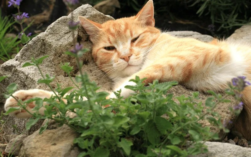 orange cat laying next to catnip plant