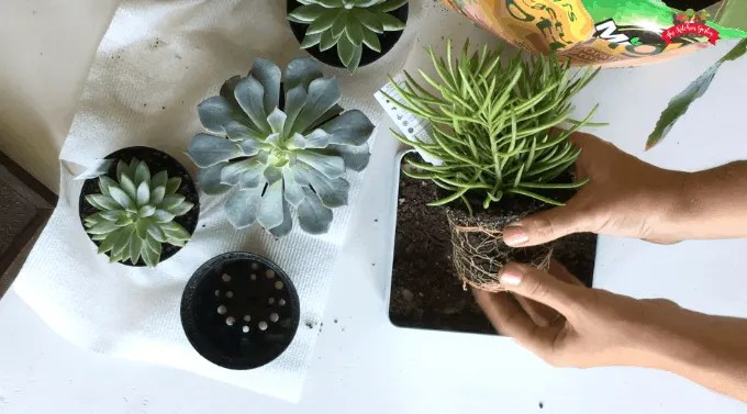 tin with succulents being placed in by hands