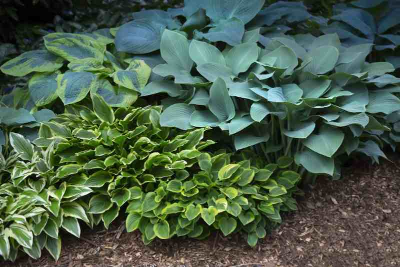 blue and green hosta plants in a shady bed