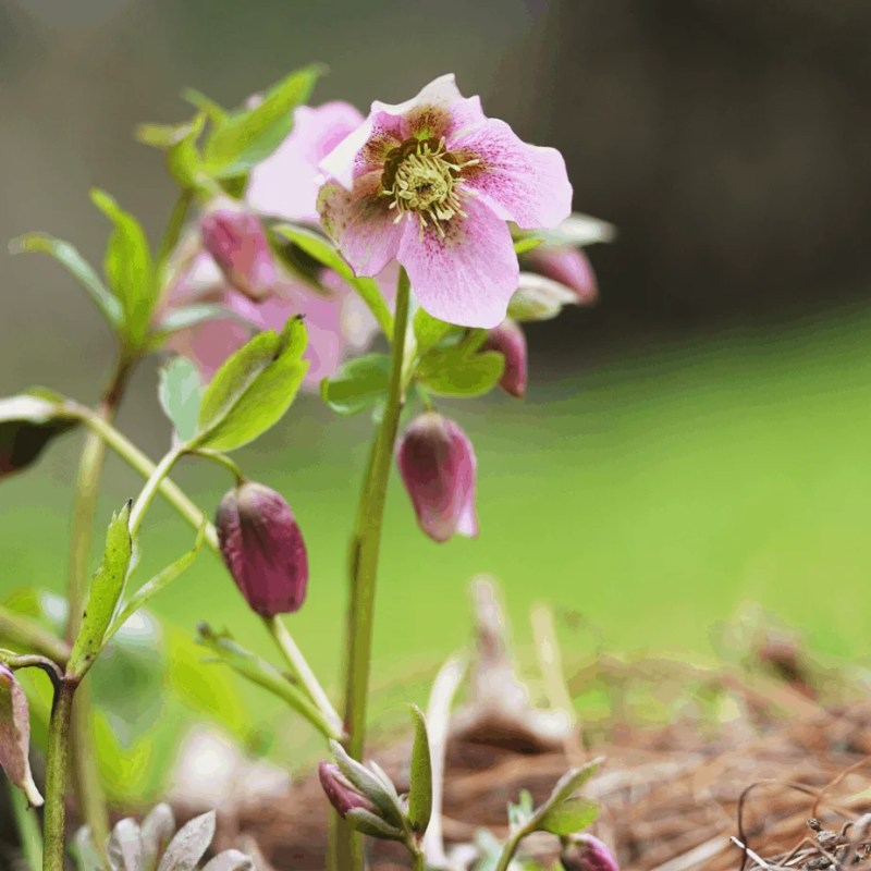hellebore with a purple bloom