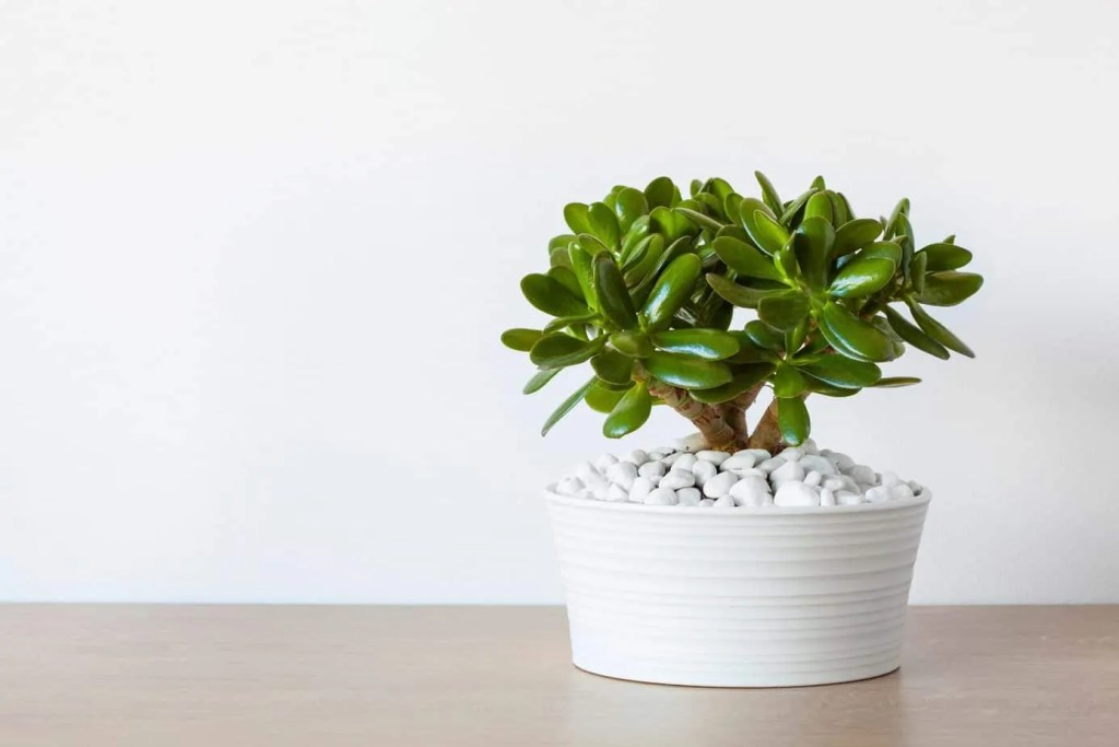 jade plant in white planter on wood table