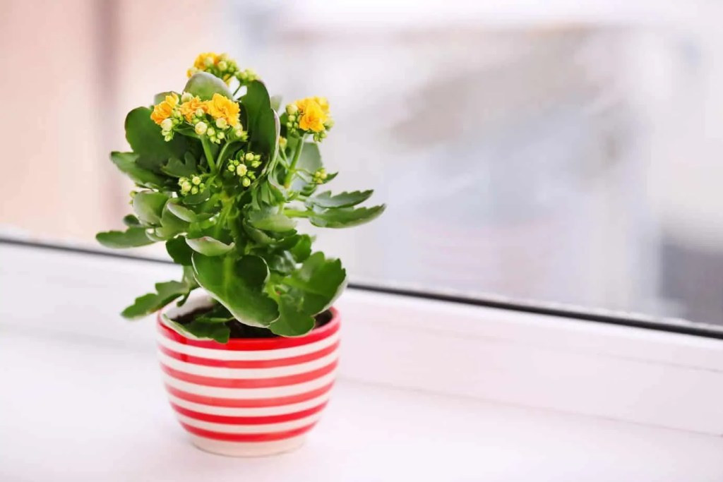 small kalanchoe plant with yellow blooms in red and white striped pot