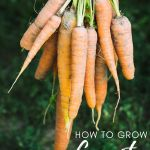 orange carrots hanging in a bunch
