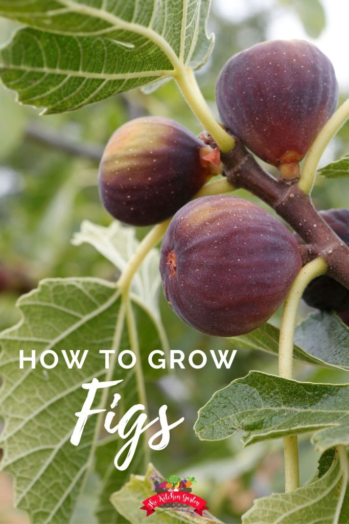 ripe figs on a tree branch