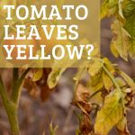 yellow tomato leaves on a dying plant