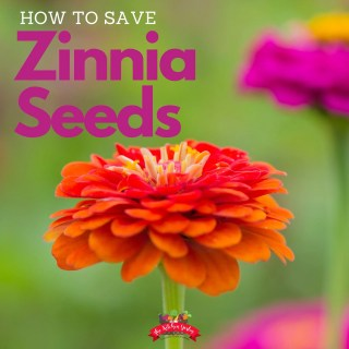 How to Save Zinnia Seeds