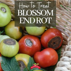 tomatoes with blossom end rot in basket