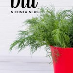 dill plant in red container with white background
