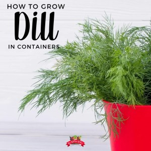 dill in red pot with white background