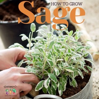 How to Plant, Grow, and Harvest Sage