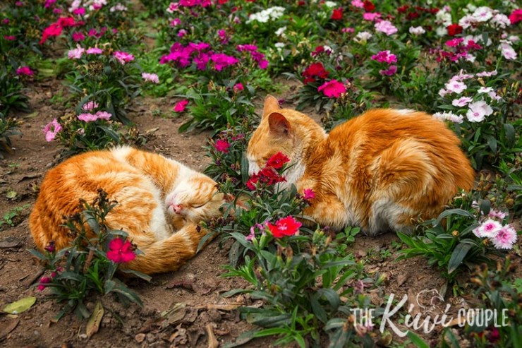 Two ginger cats curled up, sleeping in flower beds in the Lima Cat Park