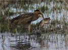315DEF1C00000578-3454581-Tony_Howes_from_Norfolk_took_this_picture_of_a_bittern_with_a_la-a-155_1455906009793