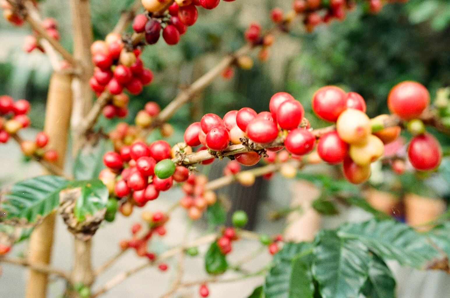 A cluster of bright red coffee cherries on a branch with green leaves.