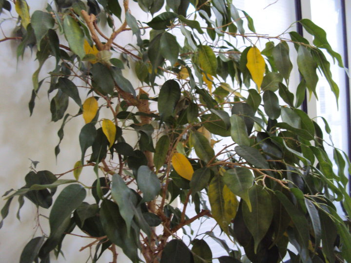 A ficus with yellowed leaves.