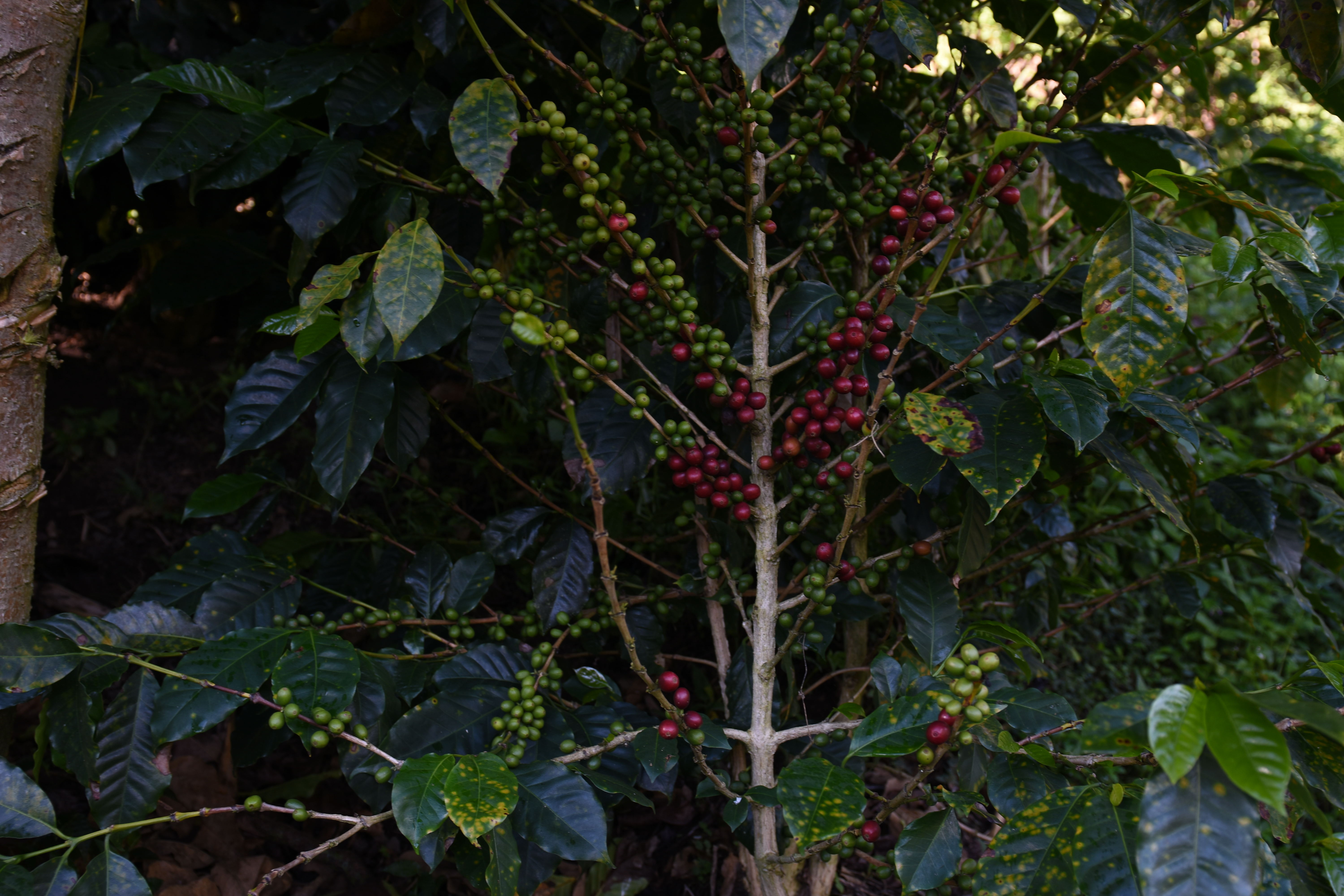 A coffee tree with some red cherries and some green.