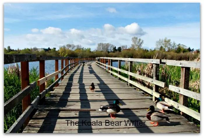Mallards on bridge at Swan Lake Nature Sanctuary