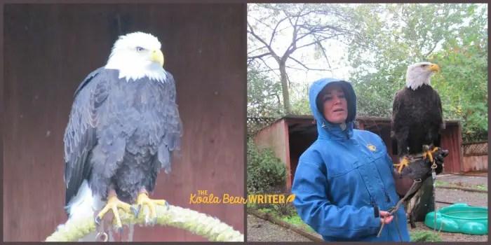 Manwe, the bald eagle, at the Raptors Centre in Duncan, BC