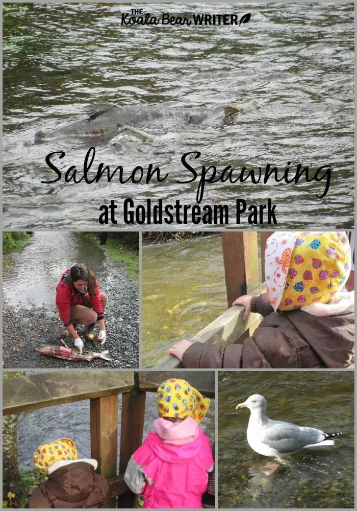 Salmon spawning at Goldstream Park