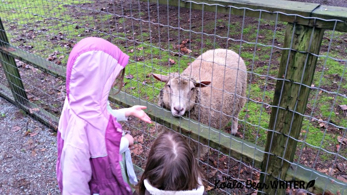 Petting the sheep at Maplewood Farm in Vancouver, BC