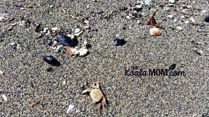 Beach treasures - crabs, mussels, rocks and more on the sand